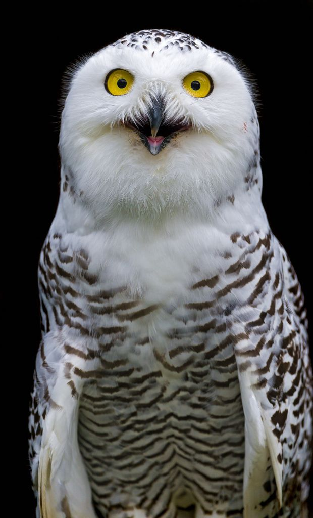 Snowy Owl - These Arctic birds will sometimes visit the Eastern Seaboard of the United States. However it is primarily found in the Arctic tundra of North America, Europe and Asia. It is one of the largest owl species, and it is the heaviest.  photo:  Tambako the Jaguar