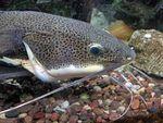 How to Raise Baby Catfish in a Tank or Aquarium