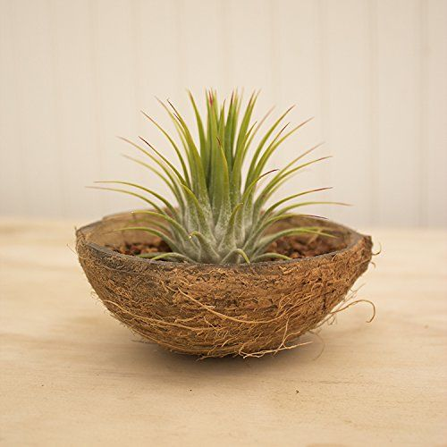 Air Plant Tillandsia Coconut Shell and Plant Display - for eco-friendly coconut shells see https://www.littlecherry.co.uk/Disposable-Party-Plates-And-Cutlery/Palm-Leaf-Plates-And-Bowls/Natural-Coconut-Shell-Bowl-10-Pack-Medium.Html?cPath=146_141