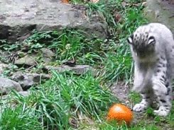 Big Cat Spotlight: The Snow Leopard - Imgur