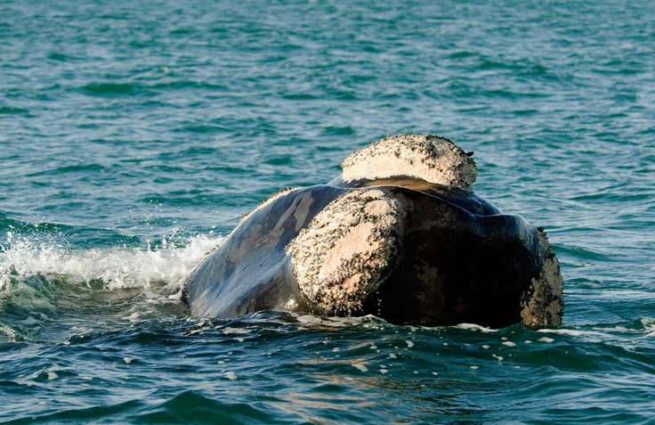 upclose right whale | About Gansbaai | Gansbaai Explore