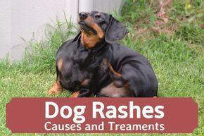 If your dog has a skin rash, there may be different causes. This article examines the reasons dogs get rashes and ways to treat them cheaply and effectively.