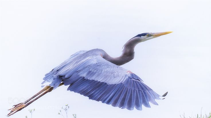 Great Blue Heron by The-Spirit-Within. Please Like http://fb.me/go4photos and Follow @go4fotos Thank You. :-)