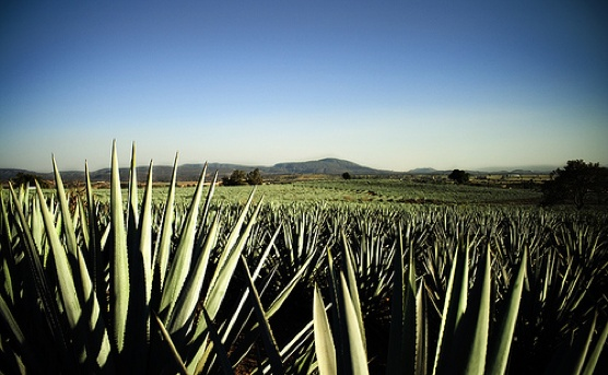 Our beautiful agave fields in Jalisco.