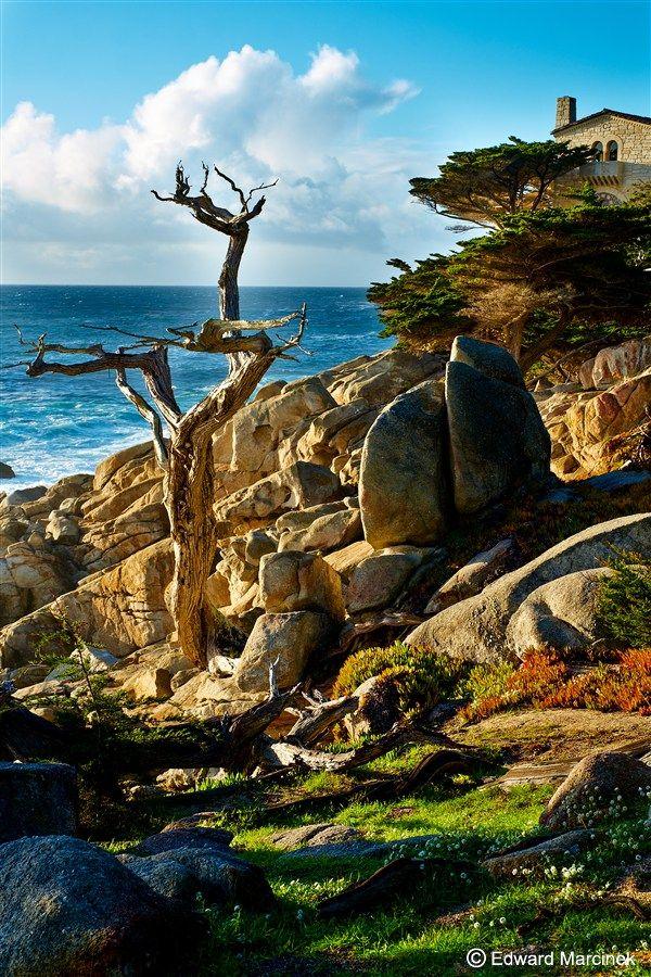 Carmel California: Ghost Tree in the Sun at Pescadero Point