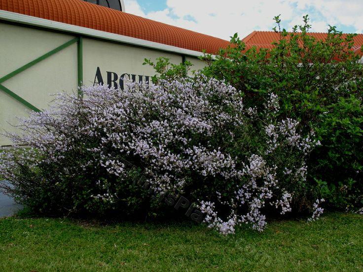 New Zealand Lilac (Heliohebe hulkeana)