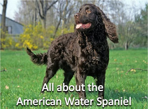 All About The American Water Spaniel American Water Spaniel
