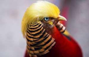 Faisão com penteado de Donald Trump - image/jpeg