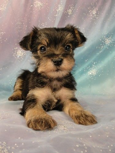 yorkie mix for sale puppies for sale puppys and schnauzers on pinterest 5680