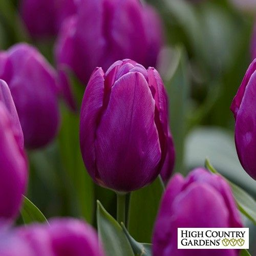 Purple Prince Single Early Tulips (Tulipa) have scalloped edges and violet purple flowers. Once of the easiest bulbs to grow, they bloom early in the spring and look lovely with early daffodils. Purple Prince Tulips are long lasting and are often used to force in containers.