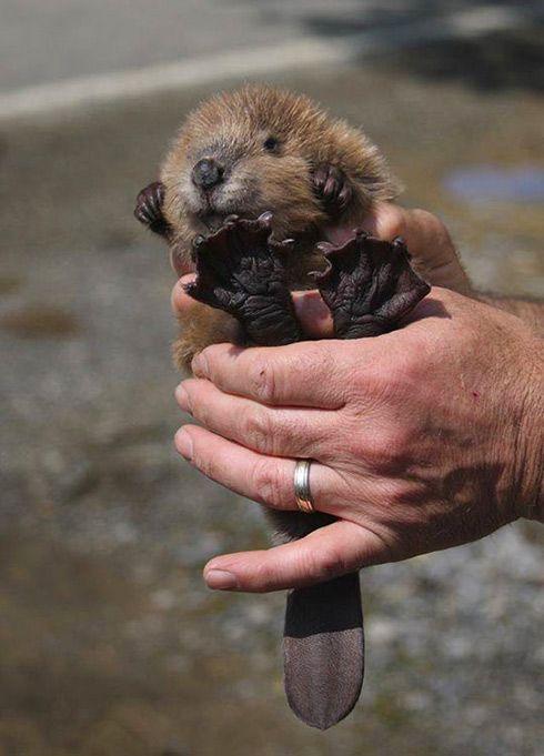 Baby Beaver.