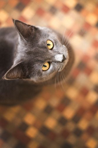 Sweet-Faced Grey Cats