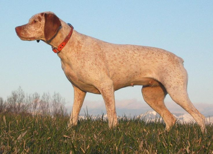 Braque du Bourbonnais breed information from the AKC