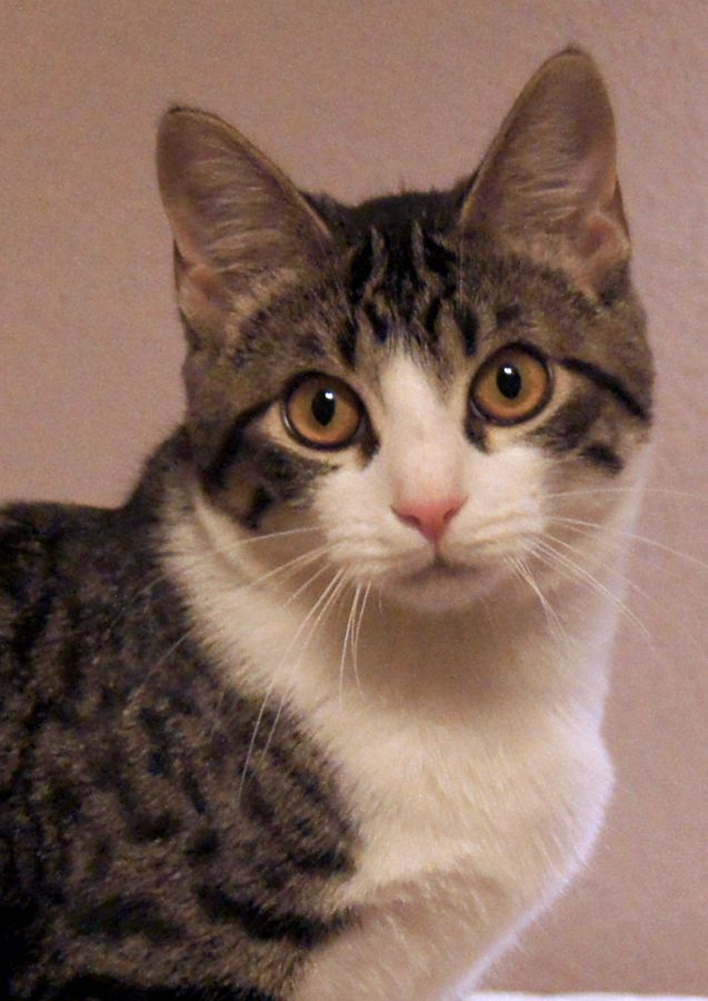 Cali is a stunning little tuxedo tabby, with gray stripes ...