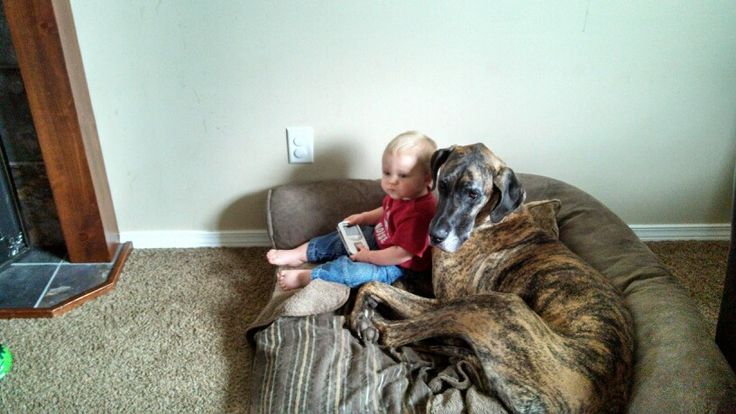 Great danes are the best child friendly dog there is :)