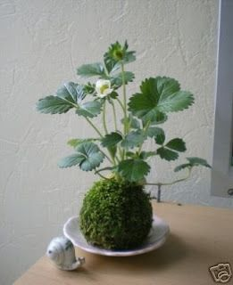 strawberry kokedama