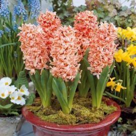 Hyacinth Bulbs For Sale | Buy Flower Bulbs in Bulk & Save