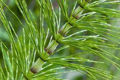 L'equiseto, detto anche coda di cavallo, è una pianta erbacea perenne, molto diffusa nei terreni sabbiosi o argillosi umidi, quindi specialmente in prossimità di depositi d'acqua. Si trova anche lungo i margini delle strade, ma preferibilmente
