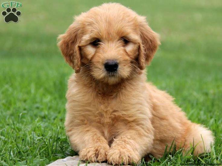 17 Best images about Goldendoodle on Pinterest   Children ...