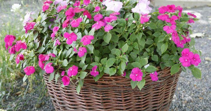 Viele Blütenpflanzen laufen nur in voller Sonne zur Höchstform auf. Mit Schattenpflanzen wie Begonien oder Fleißigen Lieschen lässt sich auch ein schattiger Balkon oder eine Terrasse in ein traumhaftes Blütenmeer verwandeln.