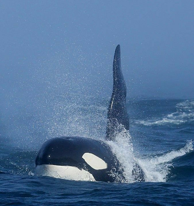 Damm That S A Cool Awesome Picture Orcas Animales Acuaticos Animales De Oceano