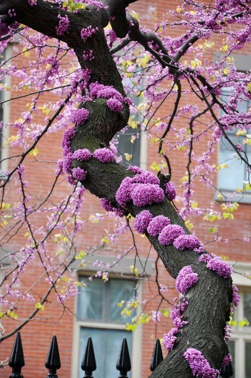 Redbud (Cercis canadensis)...My tree did this last year where I had trimmed the branches...was amazing to look at!