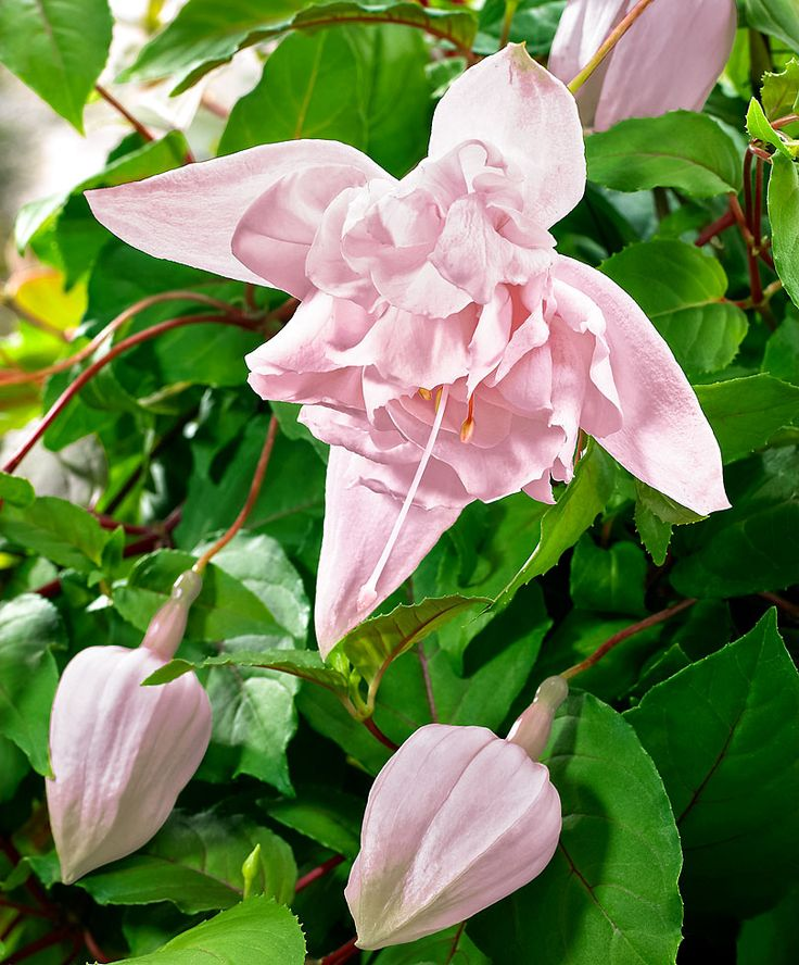 Hängende Fuchsie 'Pink Marshmallow' | Sonne bis halbschatten, bis 25 cm hoch, blüht 6 - 10, nicht Winterhart