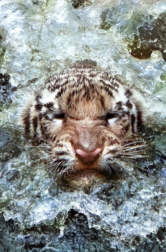 Ireland, Ireland, Ireland..........Photos, Water, Big Cat, Leonardi Ranggana, Wildlife Photography, Beautiful, Tigers, Swimming, Animal