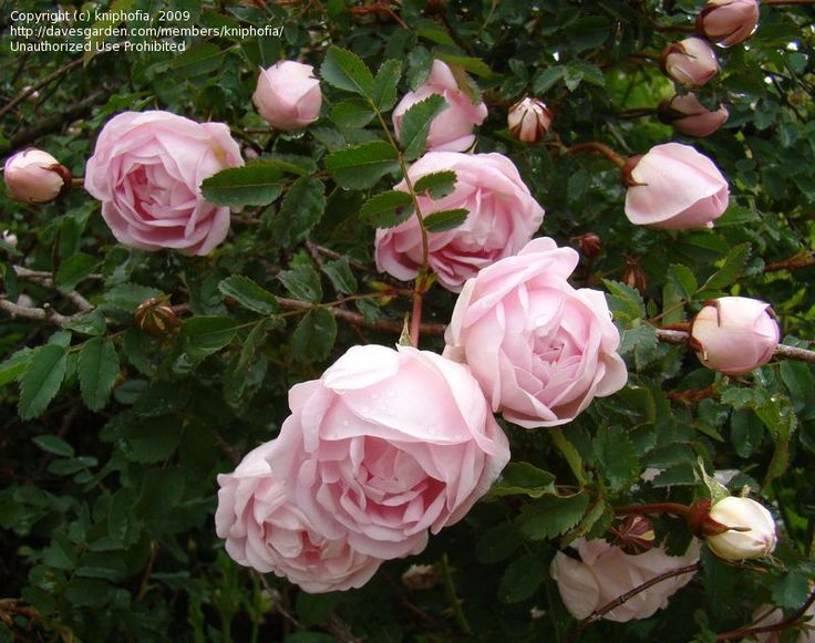Full size foto di Burnet Rose, Scotch Rose, Barrow Rosa, Fox Rose, Wild Burnet Rose 'Falkland' ( Rosa spinosissima )