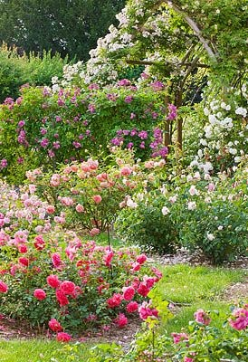 8 best Shrub companions images on Pinterest Knockout roses