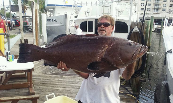 Giant #grouper caught on our deep sea #fishing trip out of #FortLauderdale.  Some big fish are biting this month.  www.NewLattitude.com