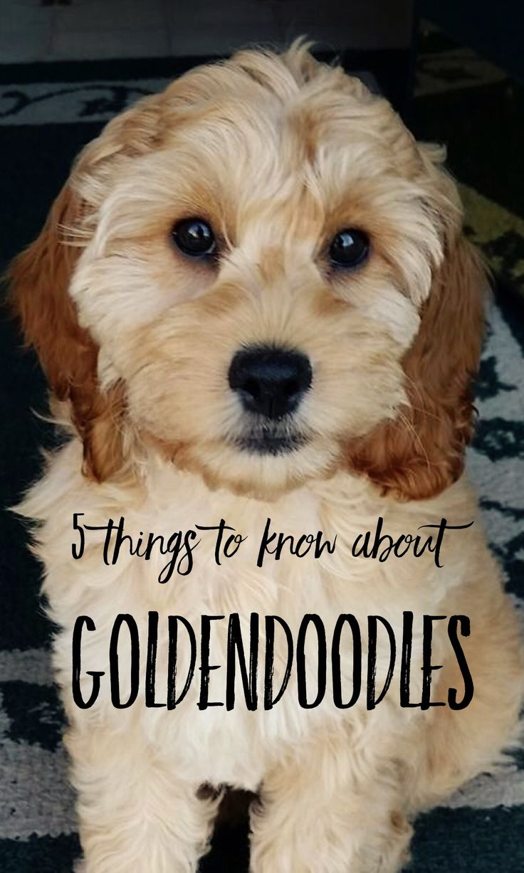 5 Things Pet Parents Need To Know About Goldendoodles