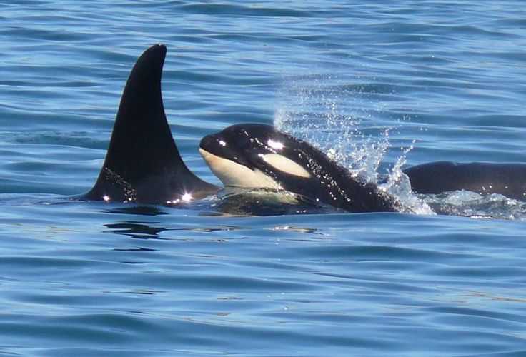 Deer Harbor Charters · People ask me why I have such awe and and respect for the orca culture. Today was a perfect example......