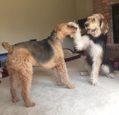 otterhound dog | Tumbl...