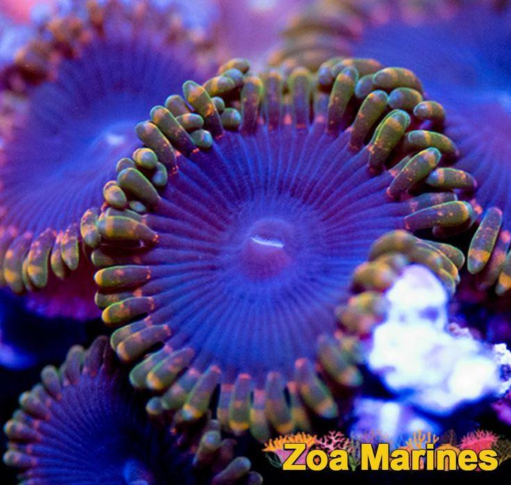 Stunning Rarely Seen Collectors Zoa 'Rainbow Rasta' Single Head. Stunning Corals! http://www.zoamarines.co.uk   #zoanthid #zoa #corals #reefkeeping #reeftank #coralfrag #saltwatertank #marineaquarium #frags #frag #marine #marinetank #saltwateraquarium #coral