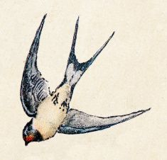 Barn swallow, birds animals antique ilustration illustration