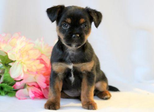 Shorkie Tzu puppy for sale in MOUNT JOY, PA. ADN-52598 on PuppyFinder.com Gender: Female. Age: 8 Weeks Old