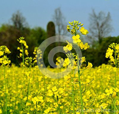 Nadia Mikushova. View to rapeseed yellow flowers in a sunny spring day.