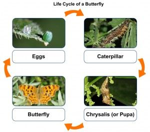 49 best science activities smart board images on pinterest pictures of each stage of the monarch life cycle from egg to butterfly try this urtaz Images