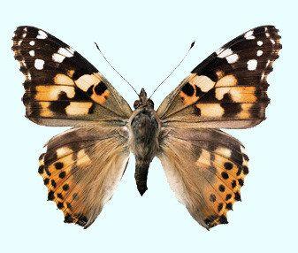Vlinder Raamsticker