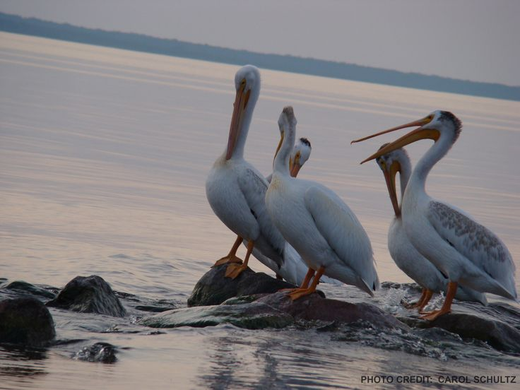 Pelicans at Buffalo Point, known as Mother Nature's post card.
