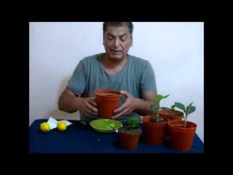Farklı yöntem ile Limon çekirdeği çimlendirme