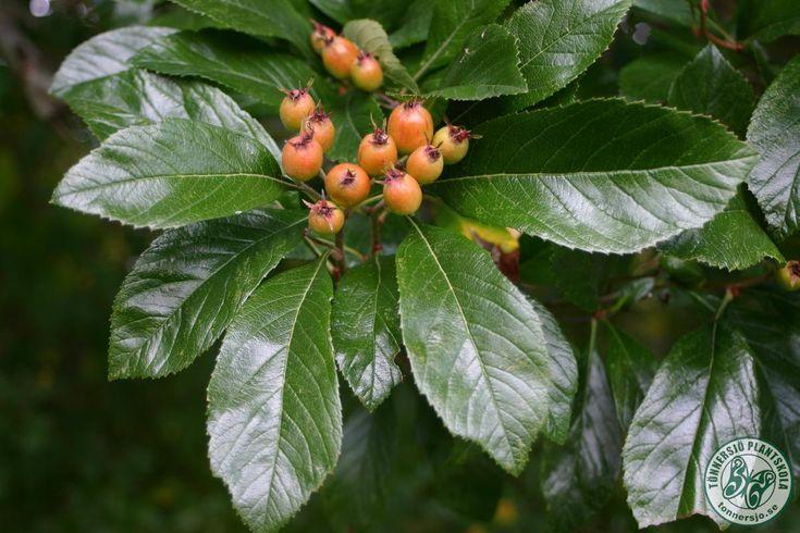 Detta är verkligen ett tjusigt träd med stark karaktär.  En grov stam med grå, fårad bark bär upp en bred, rund krona med kraftiga läderartade blad