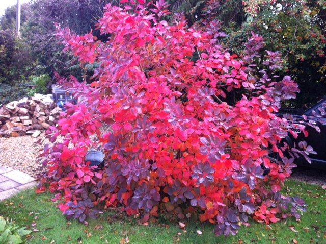 Cotinus 'Grace' smoketree, lovely fall colors | Arbuste ...