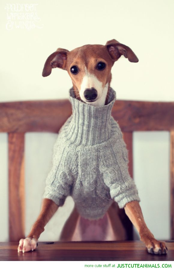Best Italian Greyhounds Images On Pinterest Adorable Animals - 22 adorable animals wearing miniature sweaters