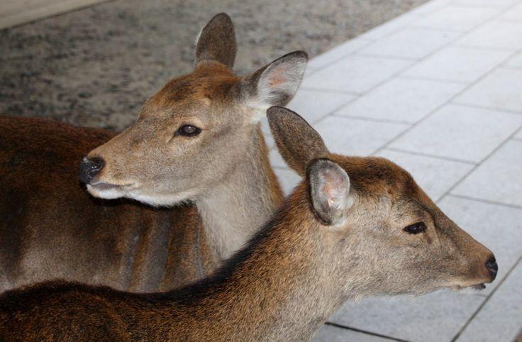 Free zone for deers...  Nara