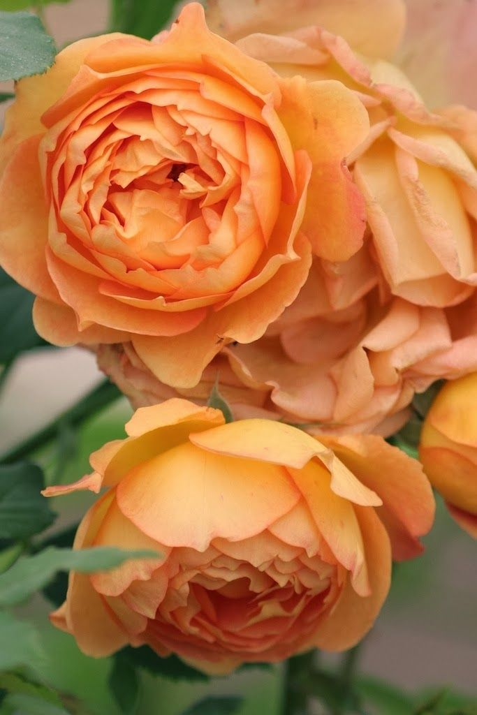 The Lady of Shallot - English Rose!   My personal favorite is the Graham Thomas rose by David Austin