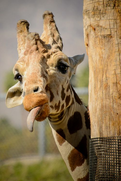 Why do giraffes have such long tongues? ~ Answer: To catch flies! #BestFlyCatcher ❤ Hey, AntMan, you've got some competition here!
