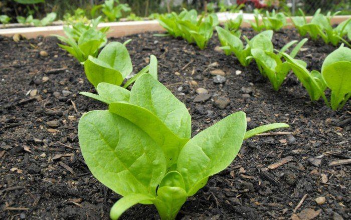 Eine junge Spinat-Pflanze im Gemüsebeet