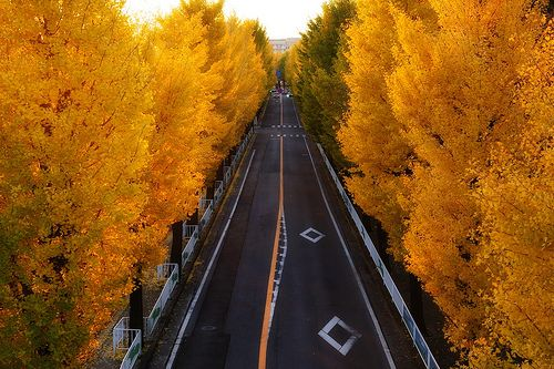 Road on Tenri's Ginkgo, via Flickr.